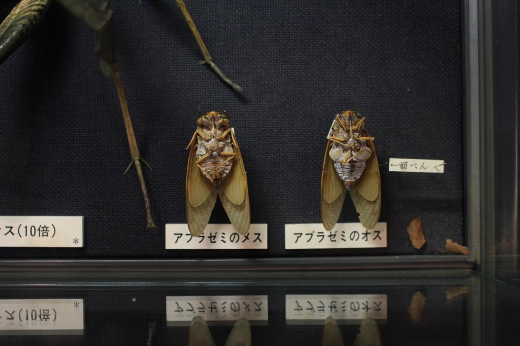 アブラゼミのオスとメスの標本