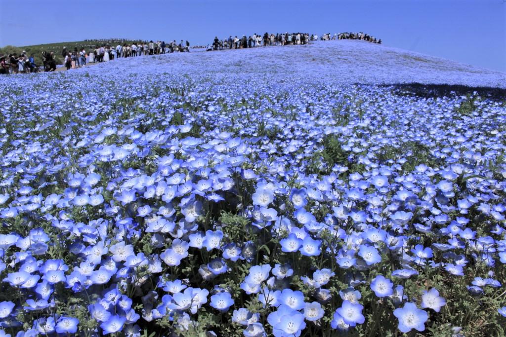 国営ひたち海浜公園のみはらしの丘に咲くネモフィラ