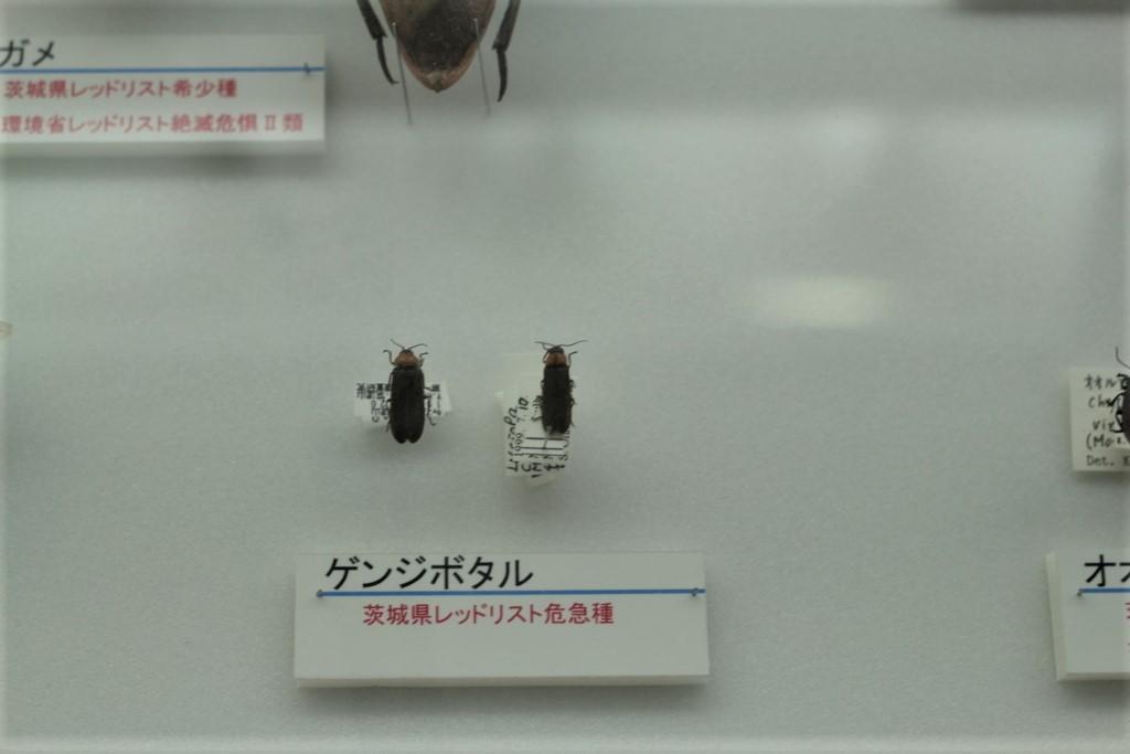 ゲンジボタルの標本