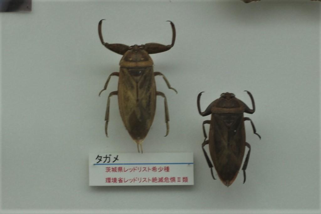 タガメの標本