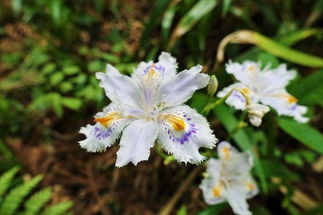 登山道の脇に咲くシャガ