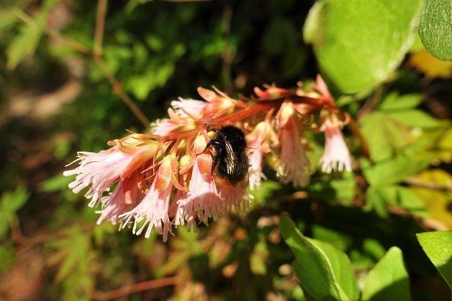 オオイワカガミの花の蜜を集めるマルハナバチ