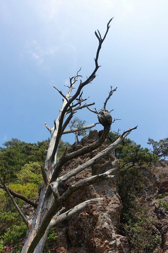 高田山展望台近くにある荒々しい立ち枯れた木