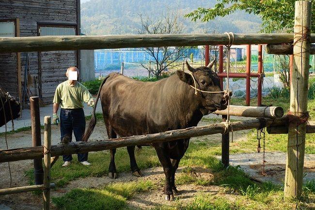 散歩から帰って繋がれるオス牛