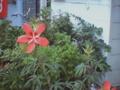 [VQ300][植物]09/08/11 風車っぽい花