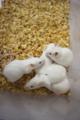研究室のネズミ