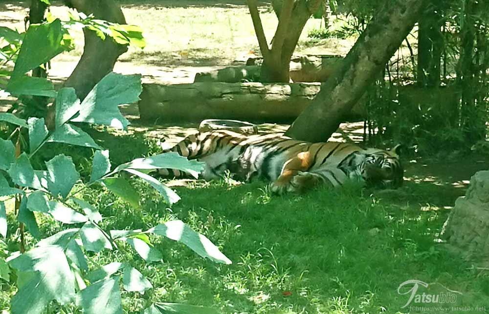 お休み中の虎