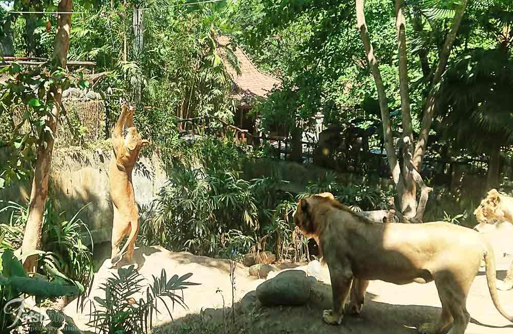 生肉に飛びつくライオン