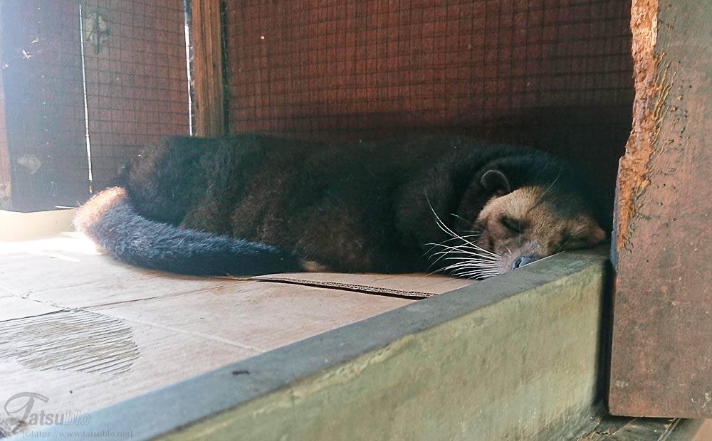 寝ているジャコウネコ