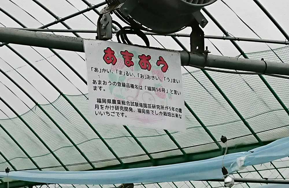 福岡県産の「あまおう」