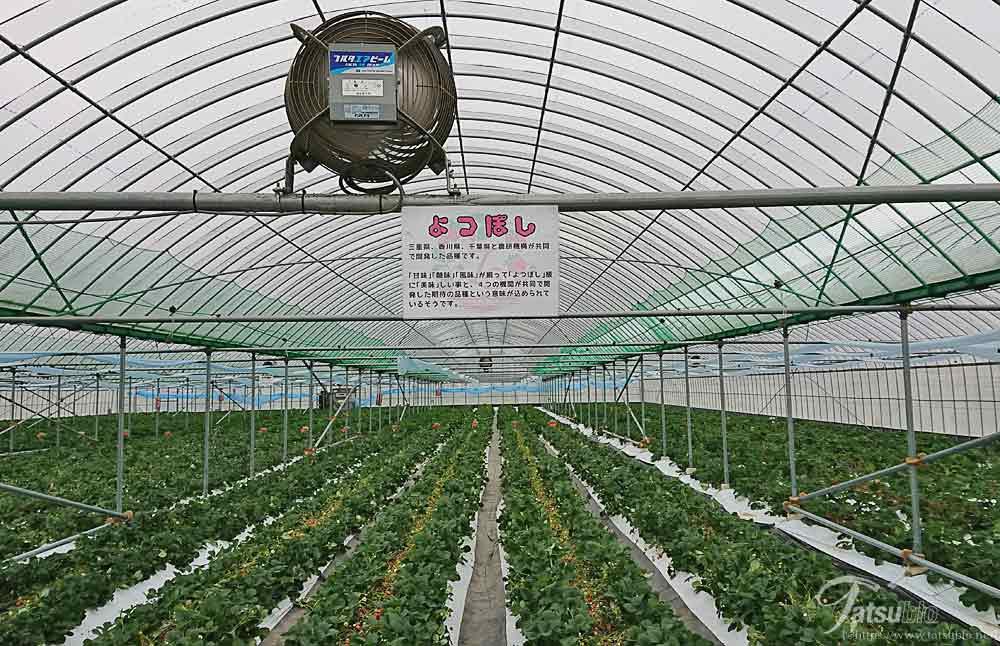 三重、香川、千葉と農研機構が共同開発したという「よつぼし」