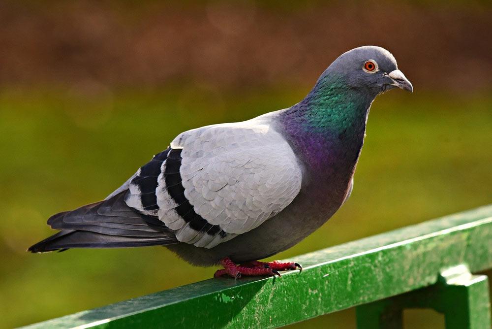 鳩の習性は