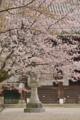 京都新聞写真コンテスト 桜宿り