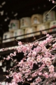 京都新聞写真コンテスト 梅爛漫