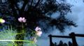 縄文時代の風に揺れる秋桜