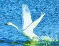 白鳥のはばたき