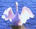 天使の羽のように(白鳥だけど)