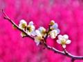 春告花 (梅の花)