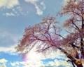 そこに立ち続ける桜