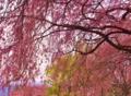 桜色が降りそそぐ