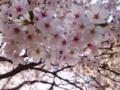 見上げれば、桜、サクラ。