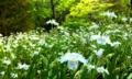 誰もいない森に咲くシャガ