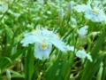 シャガの花(六芒星)