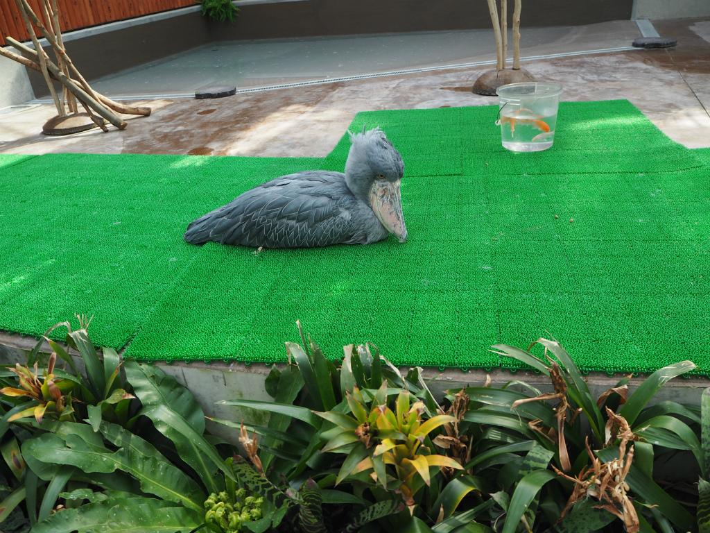 掛川花鳥園のハシビロコウさん
