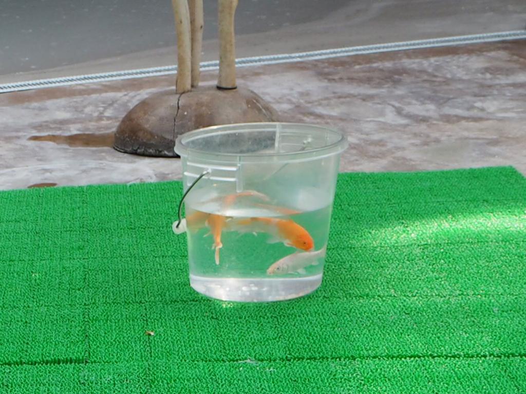 掛川花鳥園のハシビロコウさんの餌は生きた鯉