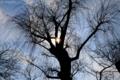 [逆光][シルエット][日中]桜の木は冬でも輝く