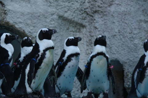 ペンギンの群れの写真
