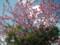 [090126][MaxValu手前の桜]
