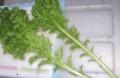 [120125][島野菜 (わさび菜)]