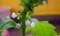 [120501][自家製大葉収穫(2)]