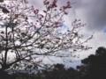 [130131][桜(名護城公園)]