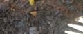 [140914][みょうがの第十五花芽]