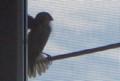 [141008][例の小さい野鳥]