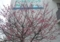 [160212][桜にメジロ]