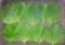 [160525][大葉収穫]