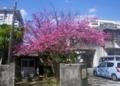 [180213][街の桜(メジロ)]
