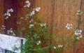 [180305][パクチーの花]