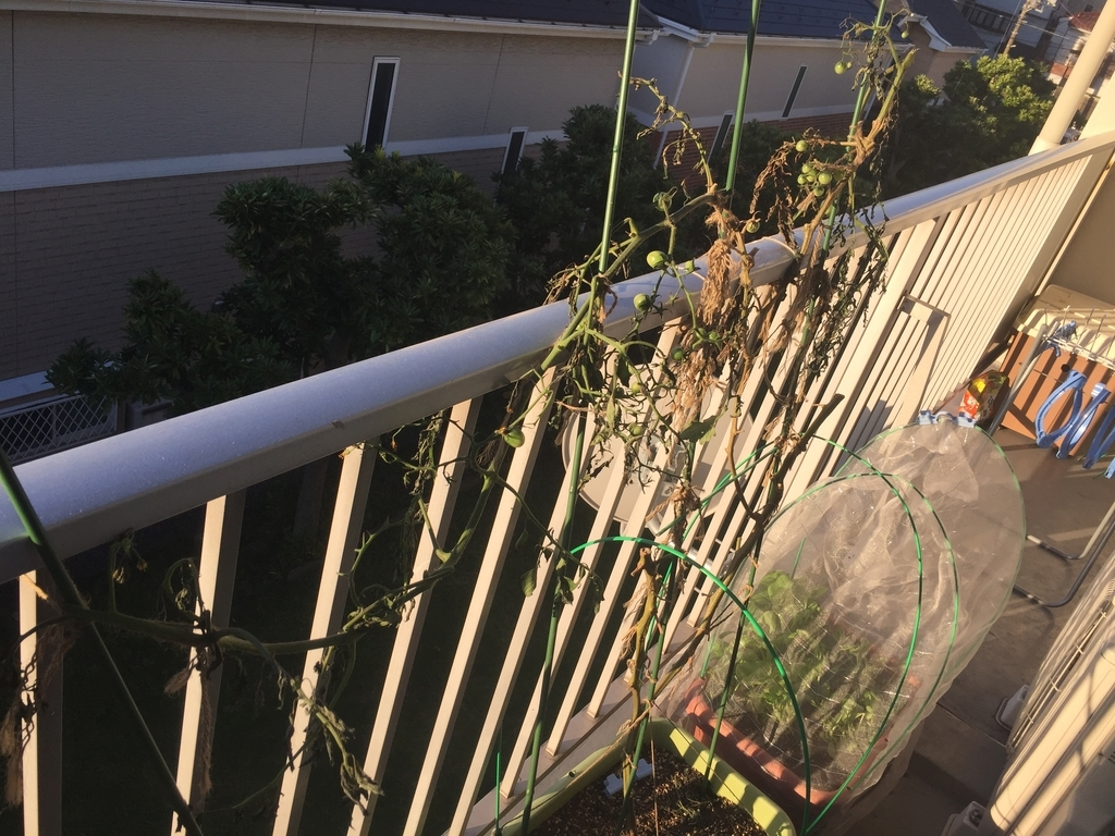 台風被害を受けたミニトマト