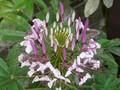 [花]クレオメという花らしい。
