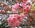 牡丹桜1 byアンさん