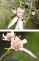 こぶしの花びらが…