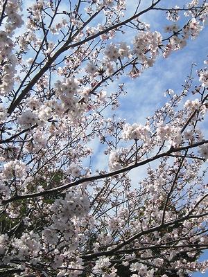 イオンの駐車場の桜 その1