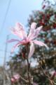 [花]こぶし