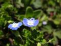 [花]オオイヌノフグリ