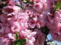 [花]桃の花