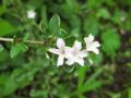 [花]ハクチョウゲ